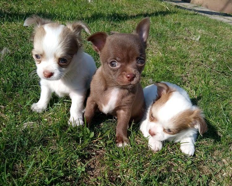 Купить щенка чихуахуа. РКФ. Бело-рыжий, шоколад.