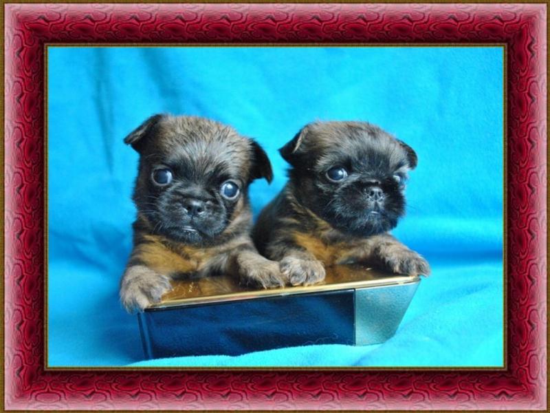 Пти брабансоны щенки