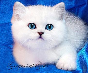 Британские котята с изумрудными и сапфировыми глазками